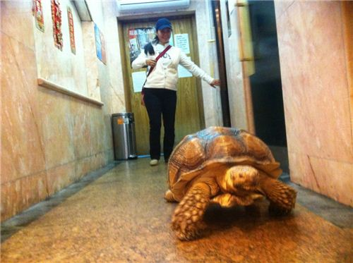 The giant tortoise heading from the elevator to the door